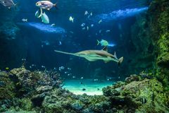 Large sawfish and other fishes swimming in a large aquarium royalty free stock photography
