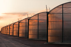 Large scale industrial greenhouse lit by sunet. Large scale commercial greenhouse illuminated by orange glow of setting sun Stock Image