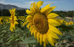 Large-scale cultivation of sunflower Royalty Free Stock Image