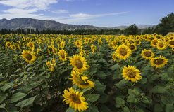 Large-scale cultivation of sunflower Royalty Free Stock Images