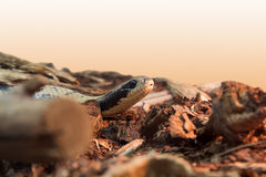 Large-scale image of a head boa Stock Photography
