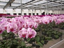 Large Scale Orchid Nursery Royalty Free Stock Image
