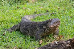 A large scaled monitor lizard in a park in Thailand is hunting on the grass royalty free stock images