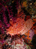 Large-scaled scorpionfish. Red-orange scorpionfish characterized by skin flaps on the body, particularly under the jaw. They give him a thorny aspect. The marine Stock Photos