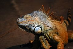 Large Scaly Lizard Face. A large lizard face with body and tail blurred in background Stock Photo