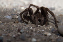 A large and scary looking Tarantula in it`s natural habitat. Royalty Free Stock Images