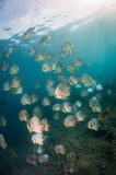 A large school of batfish Stock Image