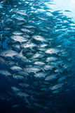 Large School of Bigeye Jacks. A huge school of Bigeye Jacks (Caranx sexfasciatus) swims near Cocos Island off the coast of Costa Rica. This remote and beautiful royalty free stock image