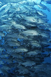 Large school of bigeyed trevally fish Royalty Free Stock Photos
