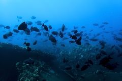 Large School of Black Fish in Silhouette Underwater in Blue Ocean. Large school of black tropical fish against deep blue ocean water royalty free stock image