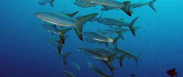 Large School of Chevron Barracuda fish