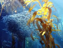 A large school of fish. Swimming in a tank behind some kelp stock images