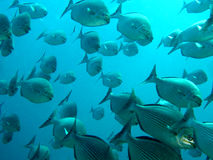 Large School of Fish Swimming Together in Ocean Stock Photos