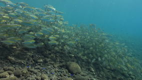 Large school of fish with yellow stripes on reef. A large school of fish with yellow stripes on the reef in search of food. Amazing, beautiful underwater world stock footage
