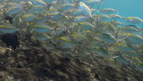 Large school of fish with yellow stripes on reef. A large school of fish with yellow stripes on the reef in search of food. Amazing, beautiful underwater world stock video footage