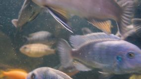 Large school of freshwater tropical fish stock footage