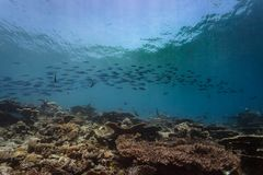 Large school of Fusiliers Caesio striatus swimming in the blue ocean. School of Fusiliers Caesio striatus shoal over coral reef stock photo