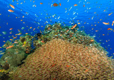 Large school of Glassfish on a coral reef Royalty Free Stock Photos