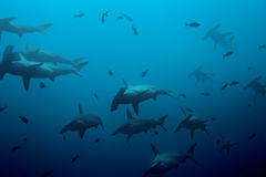 Large school of hammerhead sharks in the blue. Large school of hammerhead sharks in the deep blue Pacific ocean waters royalty free stock photo