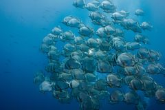 Large school of Orbicular spadefish royalty free stock photos