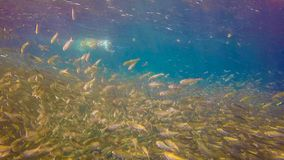 Large school of sardines. Sardines in Moalboal, Philippines royalty free stock photos