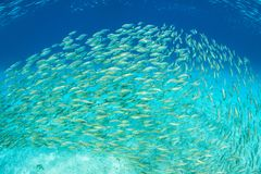 Large School of Fish in Solomon Islands. A large school of scad swims in the Solomon Islands. This remote area of Melanesia is home to an amazing amount of royalty free stock photography