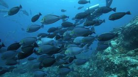 Large school of surgeonfish underwater stock video