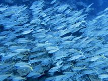 Large School of Tropical Fish in Blue Ocean Water. Large school of yellow striped goatfish underwater in full frame image royalty free stock image