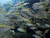 Large school of Yellowfin Goatfish Close Up royalty free stock images