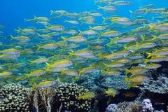 Large school of Yellowfin goatfish stock photography
