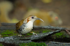 Large Scimitar-Babbler Stock Photos