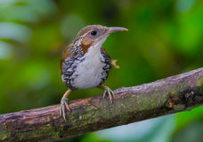 Large Scimitar Babbler. ( Pomatorhinus hypoleucos ) on the branch in nature at Kaengkracharn national park,Thailand Stock Photography