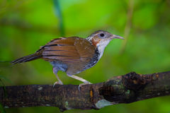 Large Scimitar Babbler ( Pomatorhinus hypoleucos ). Turn to see us in nature at Kaengkracharn national park,Thailand Stock Images