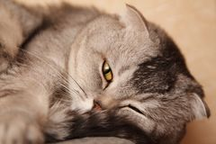 Grey tabby cat sleeping Stock Images