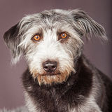 Large Scruffy Terrier Dog Closeup Royalty Free Stock Image