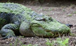 Large scum-covered alligator Stock Image