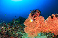 Large sea fan on a coral reef. A large sea fan with Crinoids on a deep water coral reef Stock Photography