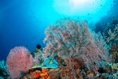 Large sea fan and marine life in Wakatobi National Park, Indones. Ia Royalty Free Stock Images