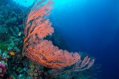 Large sea fan and marine life in Wakatobi National Park, Indones. Ia Royalty Free Stock Image