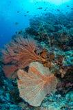 Large sea fan and marine life in Wakatobi National Park, Indones. Ia Stock Image