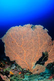 Large sea fan Stock Photos