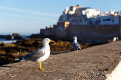 Large sea gull in the morning. In the port Royalty Free Stock Photos