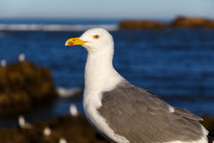 Large sea gull in the morning. In the port Stock Photography