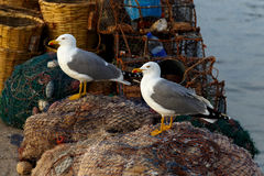 Large sea gull in the morning. In the port Stock Images