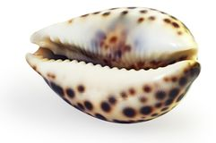 A large sea shell Royalty Free Stock Photography