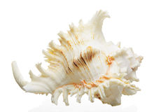 Large sea shell Royalty Free Stock Photo