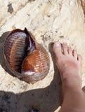 Large sea snail (Tonna galea or giant tun) on rock and human leg Royalty Free Stock Image