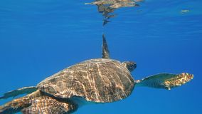 Sea turtle swims in blue sea water aquatic animal underwater photo. A large Sea Turtle playing host to two attached striped Remora swims near the surface through royalty free stock photography