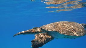 Sea turtle swims in blue sea water aquatic animal underwater photo. A large Sea Turtle playing host to two attached striped Remora swims near the surface through stock photos