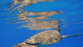 Sea turtle swims in blue sea water aquatic animal underwater photo. A large Sea Turtle playing host to two attached striped Remora swims near the surface through stock photo